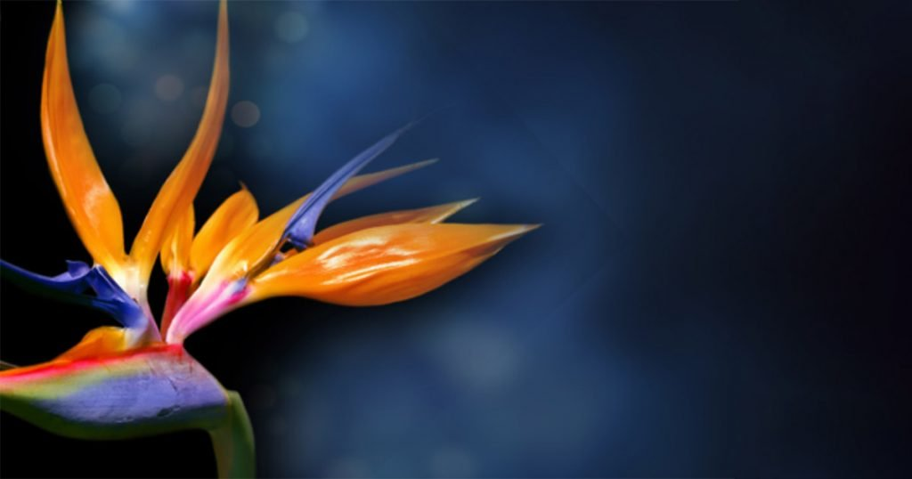 Bird of Paradise - Facebook Image